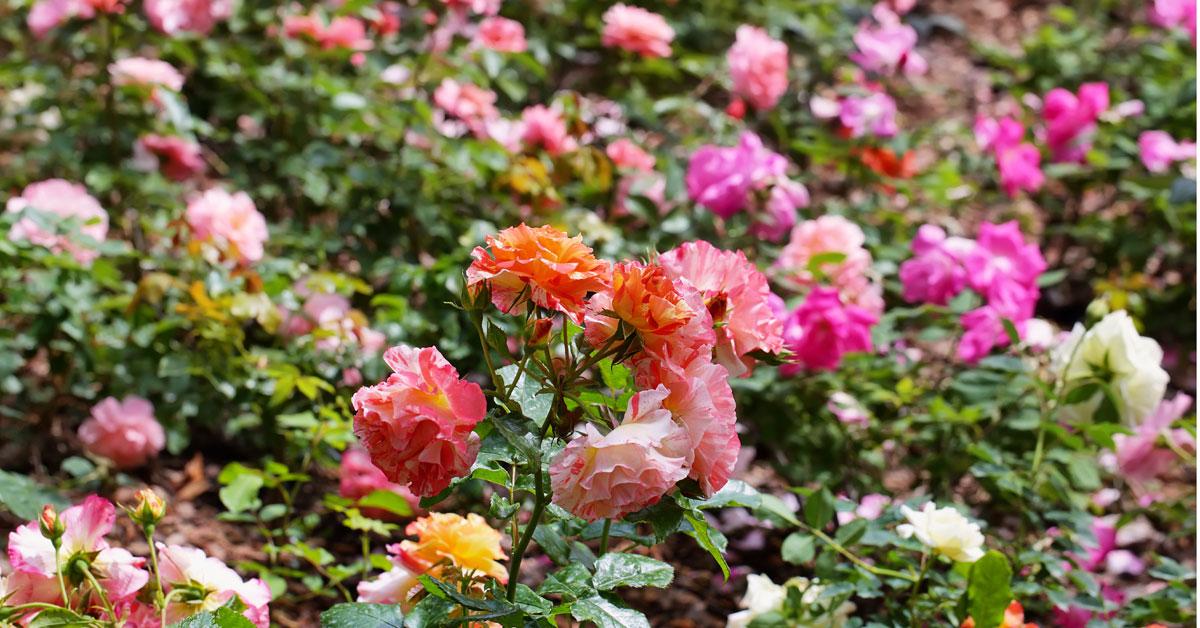 rosa-mosqueta